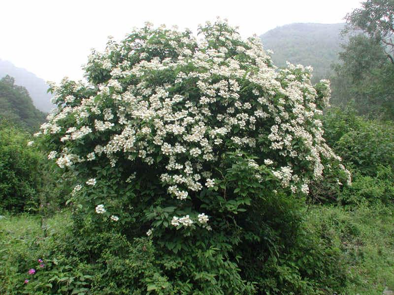 冬天落叶,纤美的枝条如冬季的庭园雕塑.一般种植在常绿树前.
